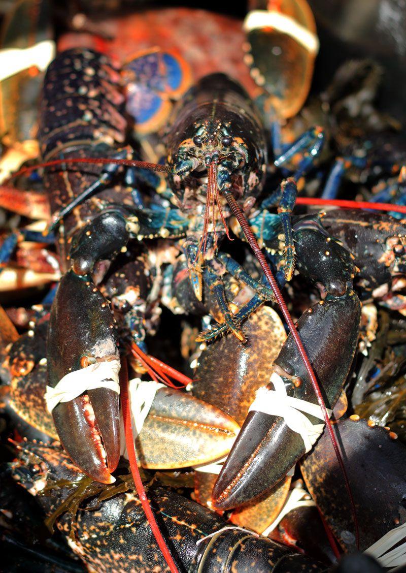 Fresh Doonbeg Lobster
